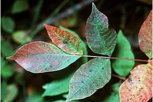 Settle Outdoor - 6 Plants to Stay Away From While Camping or Hiking - Poison Sumac
