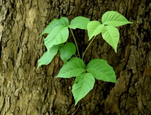 Settle Outdoor - 6 Plants to Stay Away From While Camping or Hiking - Poison Ivy