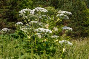 Settle Outdoor - 6 Plants to Stay Away From While Camping or Hiking - Giant Hogweed