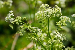 Settle Outdoor - 6 Plants to Stay Away From While Camping or Hiking - Water Hemlock