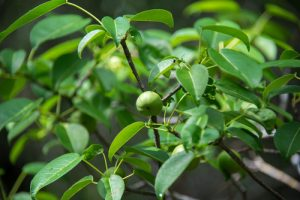 Settle Outdoor - 6 Plants to Stay Away From While Camping or Hiking - Manchineel Tree